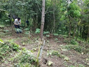 Cao Bằng: Nghiên cứu biện pháp kỹ thuật nhân giống và phát triển cây thất diệp nhất chi hoa