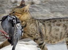 Australia lên kế hoạch tiêu tiệt 2 triệu con mèo hoang