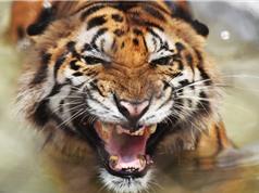 Hổ Bengal có thể sẽ tuyệt chủng do biến đổi khí hậu