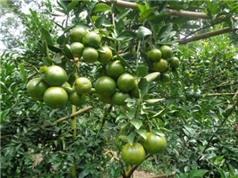 Đồng Nai: Ứng dụng tiến bộ kỹ thuật nâng cao năng suất quýt đường tại huyện Định Quán