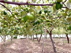 Khánh Hòa: Ứng dụng quy trình kỹ thuật trồng táo theo tiêu chuẩn VietGap tại xã Cam Thành Nam, thành phố Cam Ranh