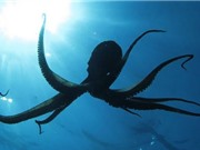 Các nhà khoa học cảnh báo tuyệt đối không nên nuôi bạch tuộc