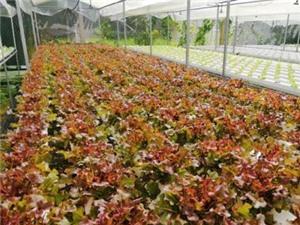 An Giang: Xây dựng mô hình trồng xà lách thủy canh đạt chứng nhận rau an toàn tại huyện Thoại Sơn