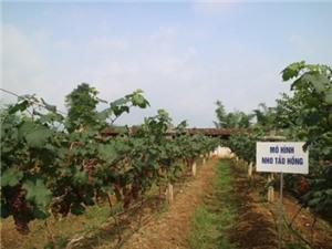 Cao Bằng: Hội nghị đầu bờ mô hình trồng nho Tảo Hồng và nho Cự Phong