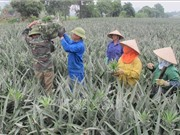 Ninh Bình: Dứa Đồng Dao được bảo hộ chỉ dẫn địa lý