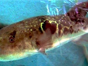 Mỹ bào chế thuốc giảm đau bằng nọc độc cá nóc