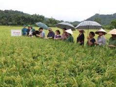 Bắc Kạn: Kiểm tra mô hình trình diễn giống lúa chất lượng cao tại huyện Bạch Thông.