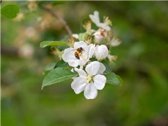 Nuôi ong lấy mật đang giết chết các loài ong tự nhiên