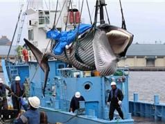 Nhật Bản lại đánh bắt cá voi thương mại