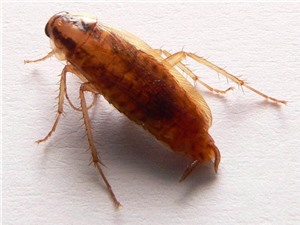 Các loài gián tiến hóa nhanh chóng, miễn dịch với hóa chất