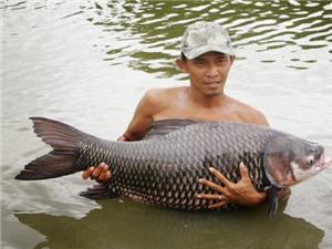 Cà Mau: Nuôi cá Hô thương phẩm trong ao đất tại xã Khánh An, huyện U Minh