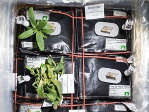 NASA công bố cây ăn quả đầu tiên sẽ được trồng trên trạm ISS