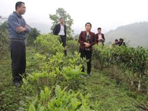 Bắc Kạn: Ứng dụng KH&CN tổ chức sản xuất, chế biến và tiêu thụ chè Shan tuyết tại Bằng Phúc, huyện Chợ Đồn