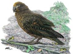Phát hiện loài vẹt khổng lồ từng sống trên Trái đất