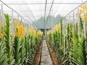 Hà Tĩnh: Ứng dụng TBKT xây dựng mô hình sản xuất lan Mokara tại huyện Thạch Hà.