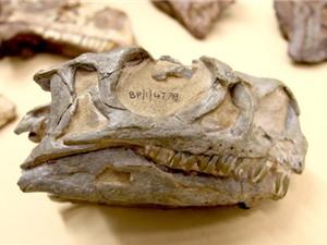 Phát hiện loài khủng long mới trong bảo tàng Nam Phi