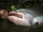 Cá nước ngọt lớn ở sông Mekong gần như tuyệt chủng