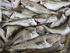 Biến đổi khí hậu có thể khiến thủy ngân độc hại tích tụ trong hải sản