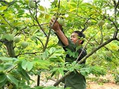 Khai thác thương hiệu nông sản: Vì sao hiệu quả chưa cao?