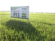Bộ Nông nghiệp và Phát triển nông thôn: công nhận giống lúa PY2