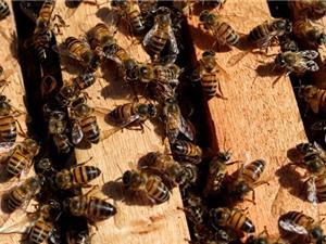 Ong đang chết hàng loạt tại Brazil do thuốc trừ sâu