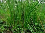 Quảng Bình: Mô hình nhân giống và trồng cây hương bài dưới tán rừng
