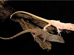 Lần đầu tạo ra động vật bò sát chỉnh sửa gene