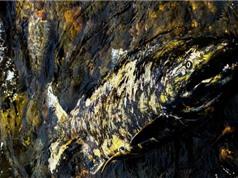 Phát hiện 3 loại virus bí ẩn chưa được phát hiện ở các loài cá hồi Thái Bình Dương