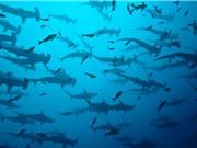 Thế giới sẽ ra sao nếu cá mập biến mất