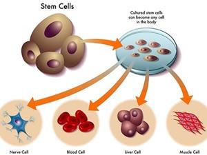 Tế bào gốc: Chìa khóa của sự sống