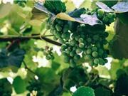 Giải trình tự gen của nho Chardonnay và Cabernet Sauvignon