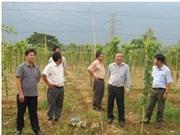 Nghiên cứu ứng dụng KH&CN xây dựng chuỗi giá trị sản xuất Nho rượu gắn với chế biến Vang Nho tại Ninh Thuận và Lâm Đồng
