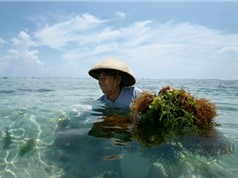 Rong biển có giải quyết được khủng hoảng rác thải nhựa ở Indonesia