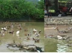 """Cao Bằng: Xây dựng, quản lý và phát triển nhãn hiệu tập thể """"Vịt cỏ Trùng Khánh"""" dùng cho sản phẩm vịt cỏ của huyện Trùng Khánh"""