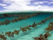 Rong biển: nguồn nhiên liệu sinh học vô giá