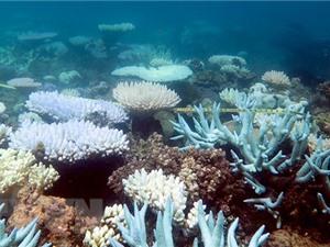 Hy vọng mới cho san hô chết vì hiện tượng ấm lên của Trái Đất