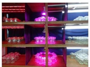 An Giang: Nghiên cứu ảnh hưởng của các loại đèn LED và thời gian chiếu sáng đến sự sinh trưởng, phát triển trên cây hoa chuông trong nuôi cấy mô