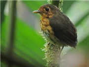 Phát hiện một loài chim mới 'siêu nhút nhát' tại Colombia