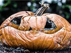 Lượng bí ngô khổng lồ bị lãng phí mỗi dịp Halloween