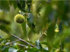 Mỹ xem xét phục hồi rừng cây hạt dẻ bằng kỹ thuật biến đổi gen