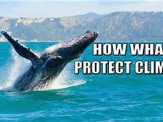 Cá voi: giải pháp của tự nhiên đối với biến đổi khí hậu