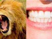 Hóa ra răng nanh con người ra đời không phải để xé thịt mà từ lý do lãng mạn hơn nhiều