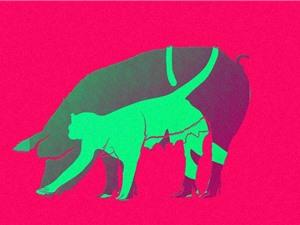 Trung Quốc tạo ra thể khảm lợn – khỉ đầu tiên