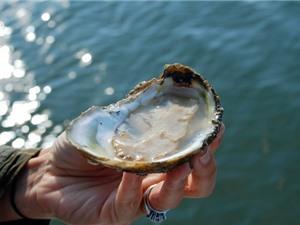 Mỹ: làm sạch Vịnh Chesapeake nhờ nuôi hàu