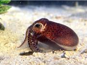 Phát hiện loài mực mới ở Okinawa