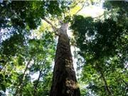 Phát hiện nhóm cây cao nhất rừng Amazon