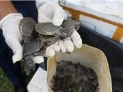 Buôn lậu rùa biển vẫn sôi động ở Indonesia, Malaysia và Việt Nam