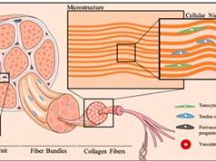 Tế bào gốc gân có thể cách mạng hóa việc phục hồi chấn thương