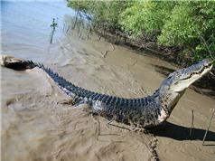 Nhiều loài cá sấu có thể phi nước đại như ngựa và chó