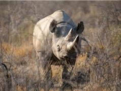 Tê giác già nhất thế giới đã chết tại Tanzania